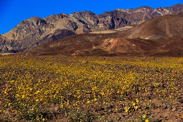 Wildflowers in bloom at Death Valley National Park in California in February 2016. (Source: Halley Clark/FOX5)
